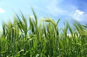 barley - hordeum vulgare -の素材 [FYI00851058]