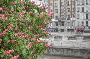 blooming chestnut tree that houses facade in parisの写真素材 [FYI00851827]