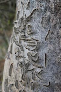 oak processionaryの写真素材 [FYI00852181]
