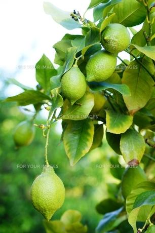 lemonの素材 [FYI00852826]