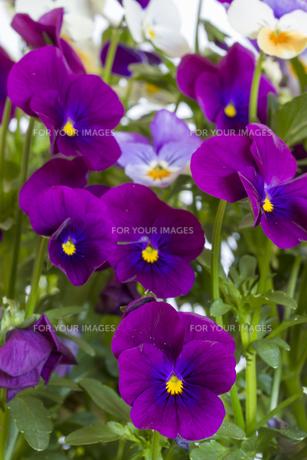 horn violets in gardenの素材 [FYI00852903]