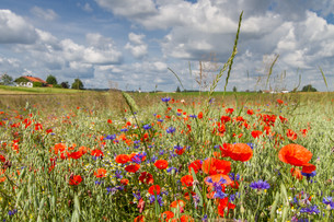 poppies,cornflowers on a field in bavariaの写真素材 [FYI00853377]