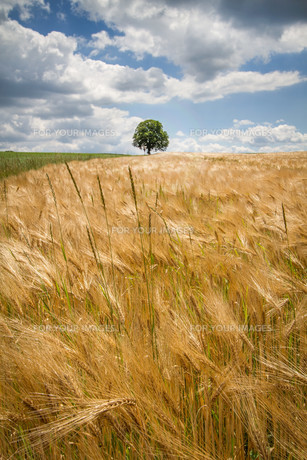 barley field with single tree in southern bavariaの写真素材 [FYI00853403]