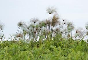 papyrus plants near lake victoriaの写真素材 [FYI00854425]