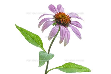 plants_flowersの写真素材 [FYI00855009]