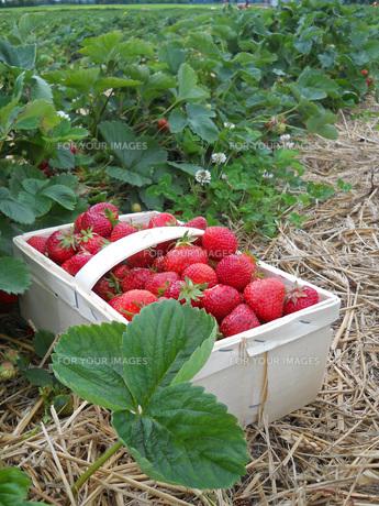 strawberry bushの素材 [FYI00855081]