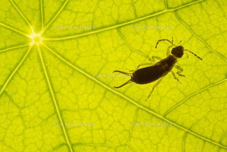 closeup green leaf with earwigsの素材 [FYI00855261]