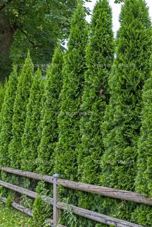 arborvitae hedge (thuja)の素材 [FYI00855371]