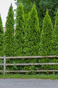arborvitae hedge (thuja)の素材 [FYI00855393]
