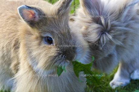 lionhead rabbitの写真素材 [FYI00855418]
