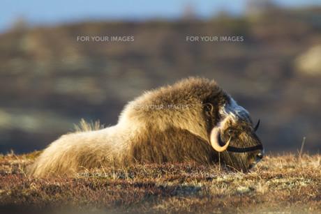 wildlife: wild musk ox on dovrefjell,norwayの写真素材 [FYI00855701]