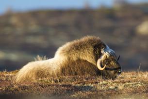 wildlife: wild musk ox on dovrefjell,norwayの素材 [FYI00855701]