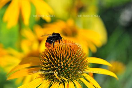 stone bumblebeeの写真素材 [FYI00855778]