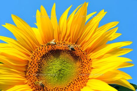 honeybeesの素材 [FYI00855845]