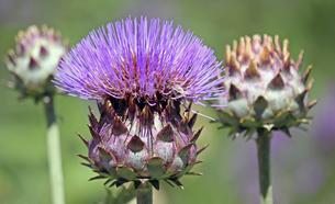 flowering artichokeの素材 [FYI00855976]