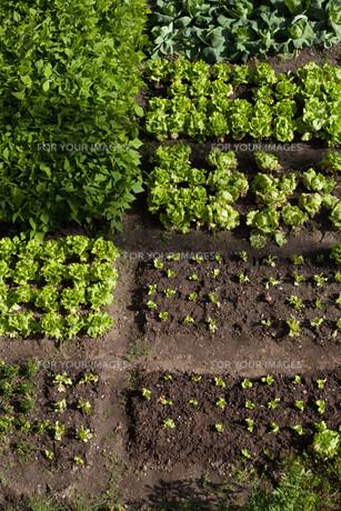 vegetable gardenの写真素材 [FYI00857590]