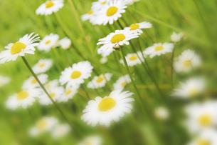 soft focus - daisies flowers in summerの写真素材 [FYI00859110]