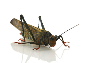 south american grasshoppersの写真素材 [FYI00859389]