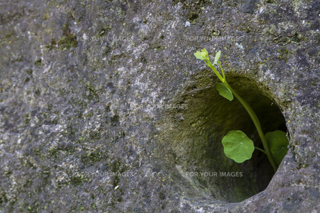 small green plant growing through stoneの写真素材 [FYI00862222]