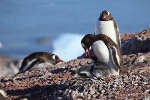 gentoo penguins in antarcticaの素材 [FYI00866133]