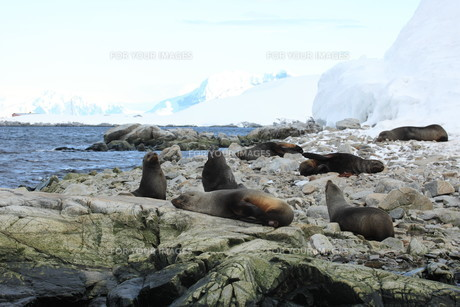 sea lions in antarcticaの素材 [FYI00866586]