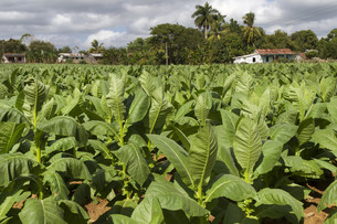 tobacco in cubaの写真素材 [FYI00866620]