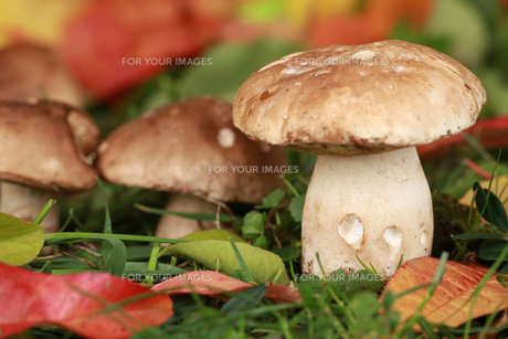 porcini mushrooms growing in a forestの写真素材 [FYI00866748]