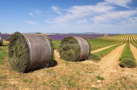 lavender field crop - lavender field harvest 20の写真素材 [FYI00866983]
