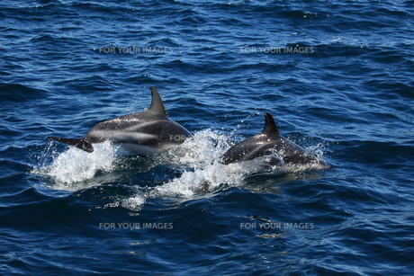 dolphins in the south atlanticの写真素材 [FYI00867122]