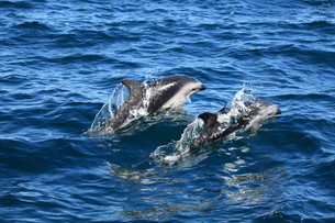 dolphins in the south atlanticの写真素材 [FYI00867125]