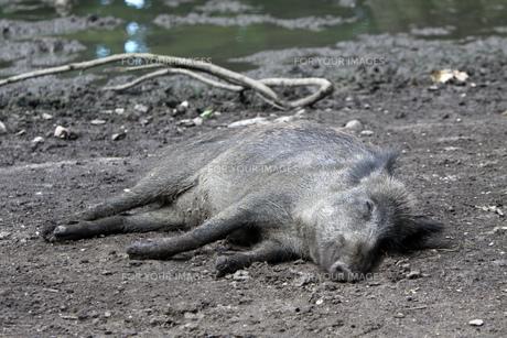sleeping wild boarの素材 [FYI00867235]