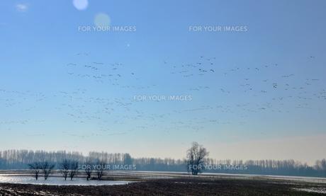 wild geese in winter quartersの素材 [FYI00867761]