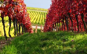 autumn in the vineyardの写真素材 [FYI00867904]