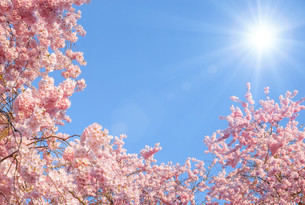 flowering cherry trees and the sunの写真素材 [FYI00868048]