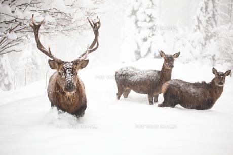 deer in the snowの写真素材 [FYI00868226]