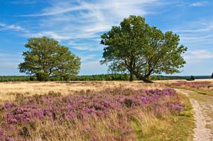 l?neburg heath,heath landscape with oakの写真素材 [FYI00868277]