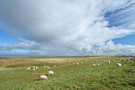 sheep on a dike at the north seaの素材 [FYI00868597]