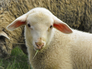 friendly-sighted lambの写真素材 [FYI00868617]