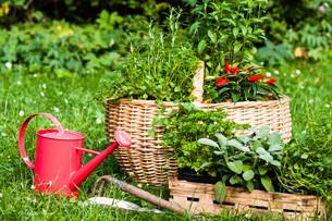 herbs in the gardenの写真素材 [FYI00868866]