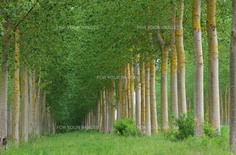 poplar forest - populus forest 10の素材 [FYI00869311]