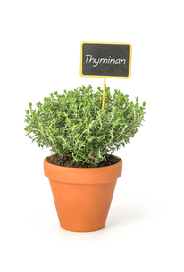 thyme in clay pot with plants plugの写真素材 [FYI00870077]