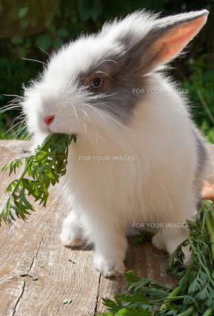 rabbitの写真素材 [FYI00870946]