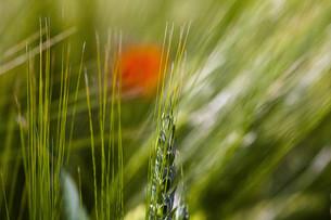 cornfieldの素材 [FYI00871457]