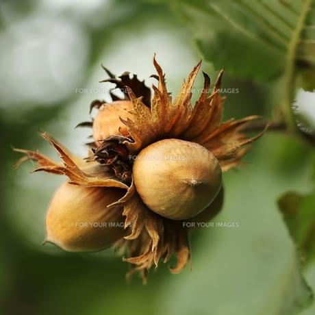 hazelnuts / hazelnutsの素材 [FYI00871542]