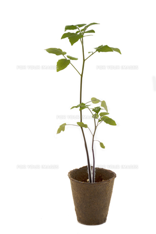 tomato plant in a potの素材 [FYI00872867]