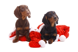 dachshund puppy and christmasの写真素材 [FYI00873072]
