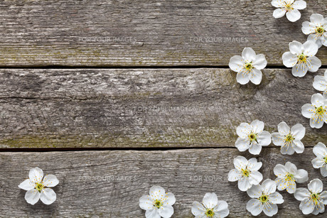 spring background. cherry flowers on wood. top viewの写真素材 [FYI00873419]