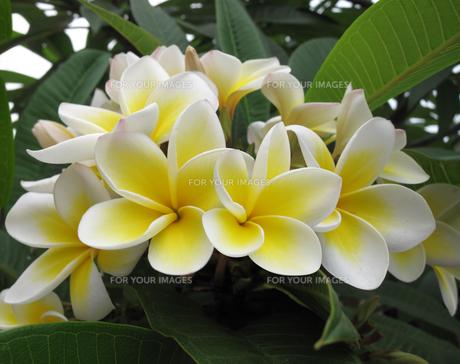 plants_flowersの素材 [FYI00873450]