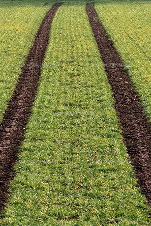 tractor track in the cornfieldの写真素材 [FYI00873637]