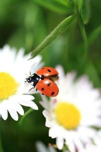 ladybug on daisyの写真素材 [FYI00873717]
